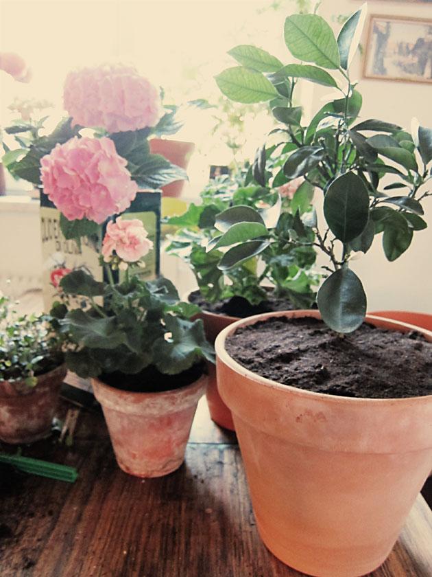 plantering, pelargon, kök